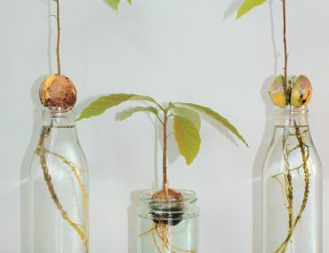 germinate avocado seed