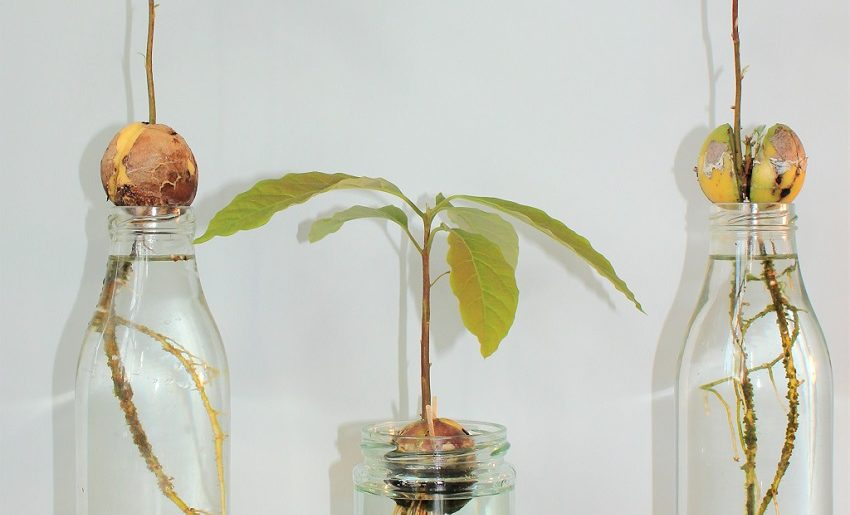 How to germinate avocado seed?